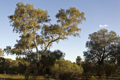 Large eucalyptus trees Stock Image