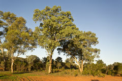 Large eucalyptus trees Royalty Free Stock Images
