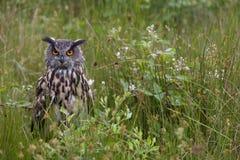 Large European Eagle Owl hidden. Large European Eagle Owl sitting in high grasses stock photo
