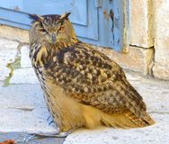 A large European eagle owl Royalty Free Stock Photos