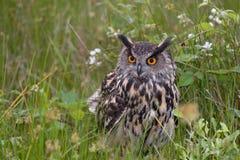 European Eagle Owl. Large European Eagle Owl sitting in high grasses royalty free stock image