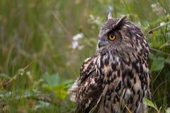 Large European Eagle Owl Royalty Free Stock Image