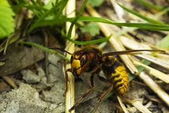 Large European hornet Vespa crabro on ground. Large European hornet Vespa crabro crawls on ground Stock Photos