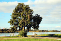 Large Evergreen Tree by the Estuary Stock Photos