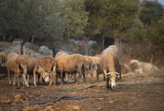 Sheep Flock in Turkey. Large ewe from a sheep flock in Turkey in arid landscape royalty free stock images