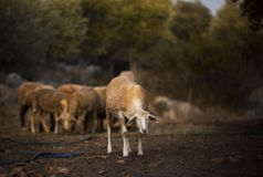 Sheep Flock in Turkey. Large ewe from a sheep flock in Turkey in arid landscape stock photo