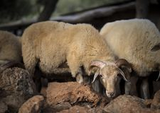Sheep Flock in Turkey. Large ewe from a sheep flock in Turkey in arid landscape royalty free stock photography