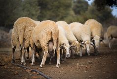 Sheep Flock in Turkey. Large ewe from a sheep flock in Turkey in arid landscape stock image