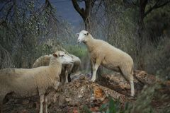 Sheep Flock in Turkey. Large ewe from a sheep flock in Turkey in arid landscape stock images
