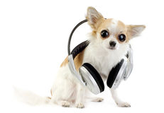 Large-eyed chihuahua with headphones isolated royalty free stock images