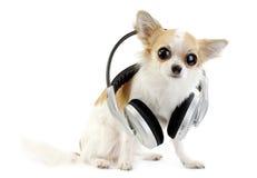 Large-eyed Chihuahua mit Kopfhörern trennten Lizenzfreie Stockbilder