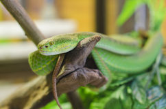 Large-eyed Green Pitviper Royalty Free Stock Photo
