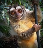 Night monkey Stock Photography