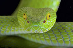 Free Large-eyed Pitviper (Trimeresurus Macrops) Royalty Free Stock Photos - 61103988