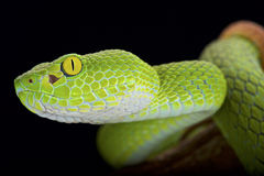 Free Large-eyed Pitviper (Trimeresurus Macrops) Stock Images - 61104014