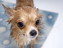 Large-eyed wet dog chihuahua. Close-up in bathroom Stock Images