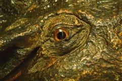 Large eyes crocodile stock image
