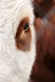 Large eyes with eyelashes. A cow and bull Royalty Free Stock Photos