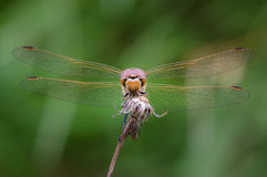 Large eyes sitting dragonfly. Dragonfly with big eyes settled on the grass to sleep Royalty Free Stock Photography