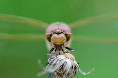 Large eyes sitting dragonfly. Dragonfly with big eyes settled on the grass to sleep Stock Images