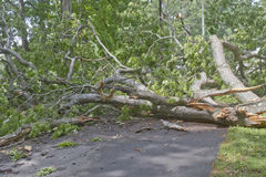 Large Fallen Oak Obstructs Road Royalty Free Stock Photo