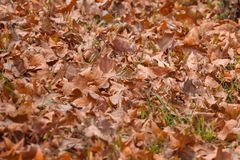 Large fallen Sycamore tree leaves on grass meadow in autumn.  royalty free stock photos