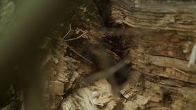 Large fallen tree in forest. Broken wood with rotten core stock footage