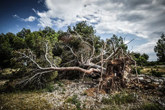 Large fallen tree Royalty Free Stock Image