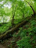 A large fallen tree in the spring forest royalty free stock photos