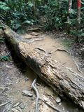Large fallen tree trunk in a jungle trekking path Stock Photography