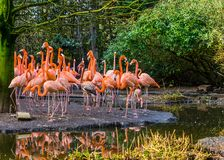 Large family of American flamingos standing together on the coast, tropical and colorful birds from the galapagos islands. A large family of American flamingos royalty free stock photography