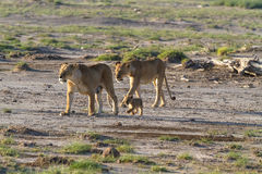 A large family of cats in the savannah Amboseli. Kenya Royalty Free Stock Photography