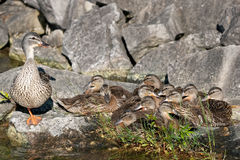 Large family of ducklings with mother watching. A large family of Mallard ducklings resting together on a rock, with their mother keeping watch Stock Photo