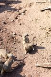 A large family meerkat is in a zoo. Under the open sky Stock Photography