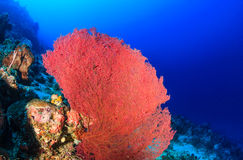Large fan corals on a tropical reef. A large pink sea fan on a tropical coral reef royalty free stock photos