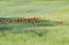 Red poppies in a field of cereal. A large farm field with a young cereal crop dotted with red poppies and brushed by the breeze stock image