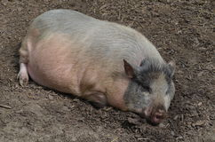 Large farm pig lying in the yard Royalty Free Stock Photography