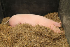 Large Farm Pig. Royalty Free Stock Image