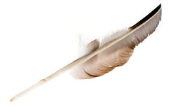 Large feather on white. A large feather from a hawk is on white background, lit from underneath Royalty Free Stock Photography