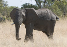 Large female African elephant Stock Photography