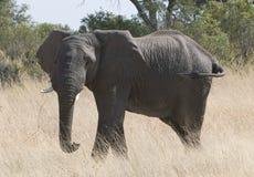 Large female African elephant Stock Photography