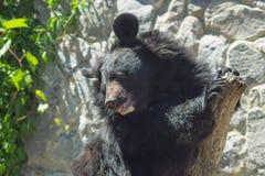 Large female black bear playfully climbed Royalty Free Stock Photo