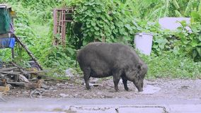 A large female boar. Is eating the food that humans have brought stock footage