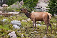 Large Female Elk Royalty Free Stock Photos
