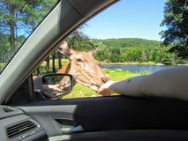 A large female elk or wapiti gets up close by the passenger side window of a car, eating out of the hand of male royalty free stock photos