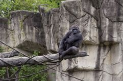 Free Large Female Gorilla In A Zoo Royalty Free Stock Photography - 132895567