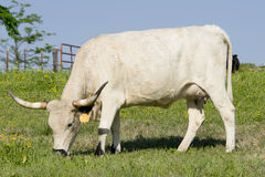 Large Female Longhorn Cow. A female longhorn cow grazes in a springtime pasture stock photography