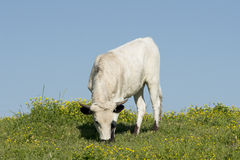 Large Female Longhorn Cow. Grazes in a springtime pasture stock image