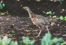 Female pheasant walking on ground in summer garden. Large female pheasant walks on the ground against a stone fence on a summer day Royalty Free Stock Photography