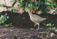 Female pheasant walking on ground in summer garden. Large female pheasant walks on the ground against a stone fence on a summer day Royalty Free Stock Image